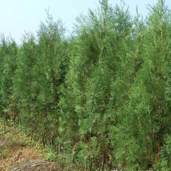 大雪过后如何为绿化苗木疗伤?