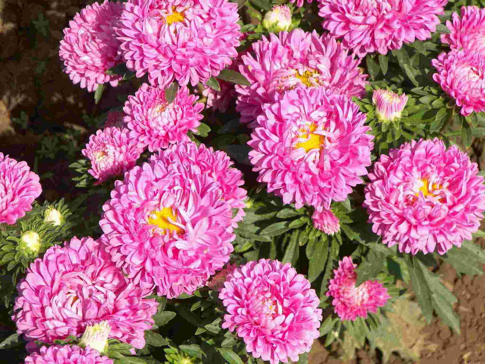 天津荷兰菊的养殖和养护方法