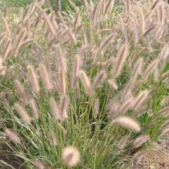观赏草种植