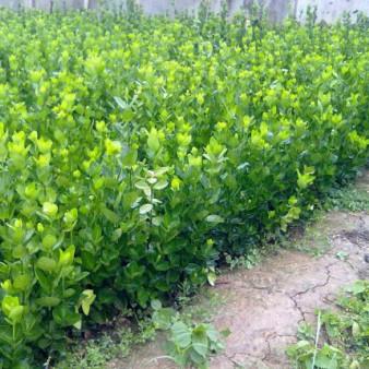 绿化工程杯苗批发