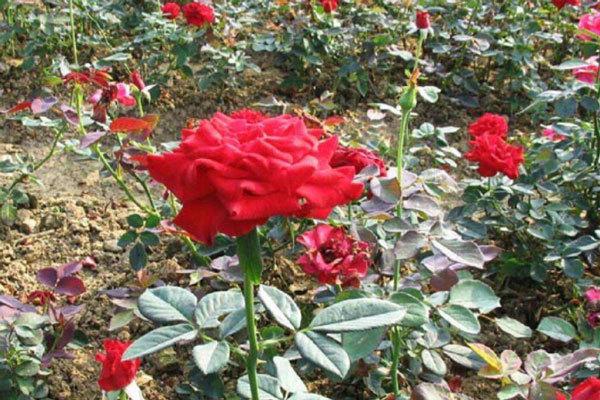 天津红帽月季