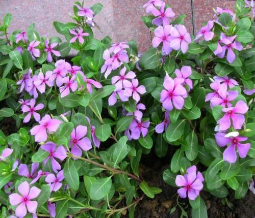 文亮花卉苗木有品质的长春花出售-江苏长春花行情