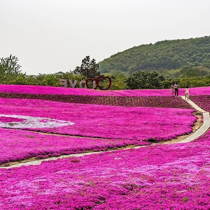 甘肃宿根地被花卉种植基地