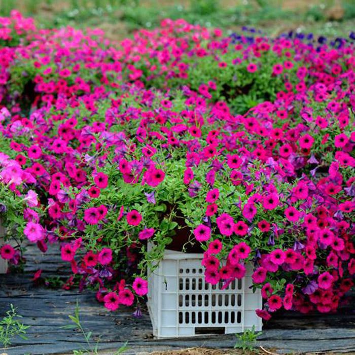 山东宿根地被花卉供货商