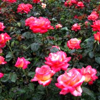 北方规模化生产最合适的连栋花卉温室简介