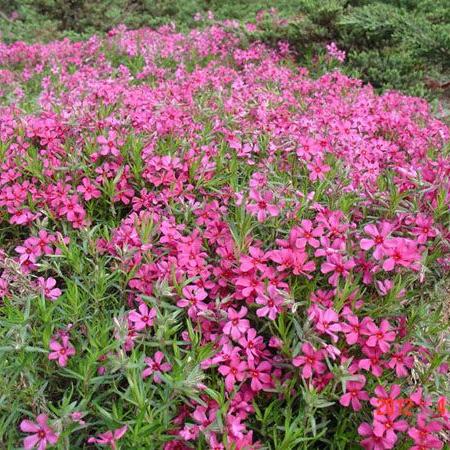 想买销量好的宿根花卉杯苗,就到萃雅花卉苗木 -宿根花卉杯苗供货商