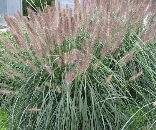 上哪找实惠的狼尾草,哪里有紫叶狼尾草