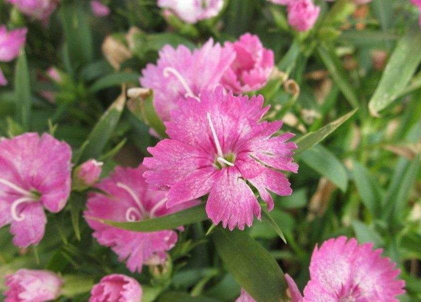 芳润花卉苗木优良的五彩石竹出售-五彩石竹基地
