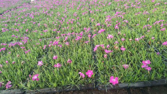 芳润花卉苗木划算的完美石竹出售 天津完美石竹