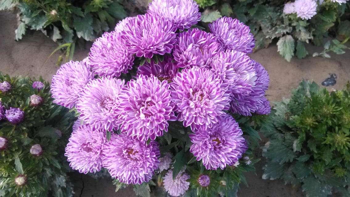 价格优惠的翠菊哪里有供应 福建翠菊种植