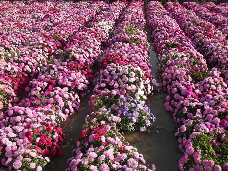 贵州国庆菊种植基地