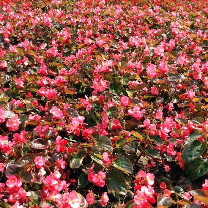 河北宿根地被花卉种植基地