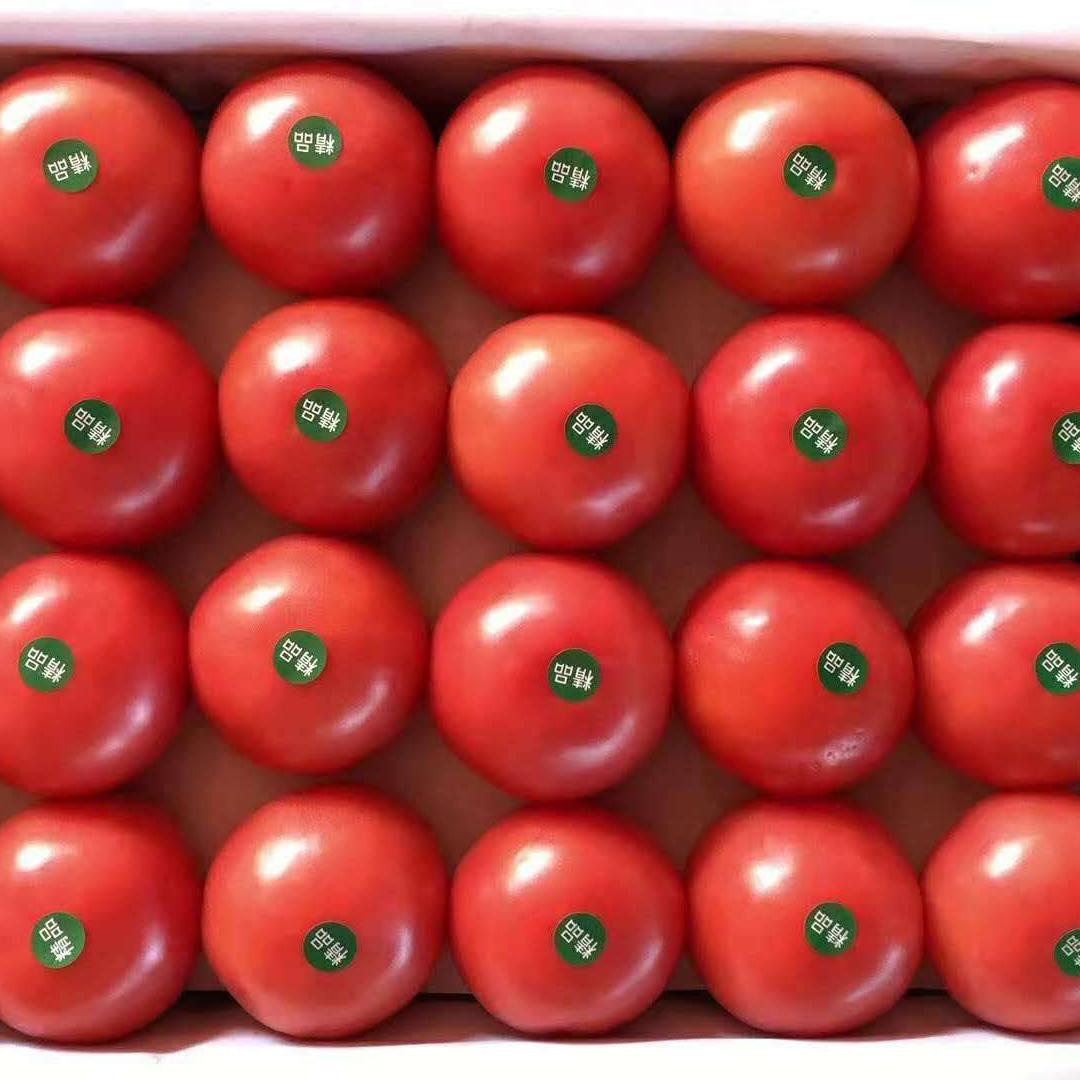 抗TY西红柿种苗