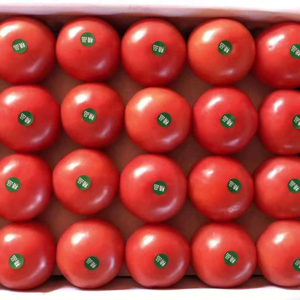 天津西红柿种苗供应商:西红柿种苗移栽