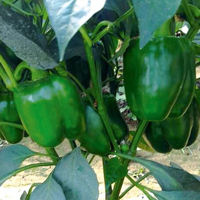 专业供应优良彩椒种子|彩椒种子价格