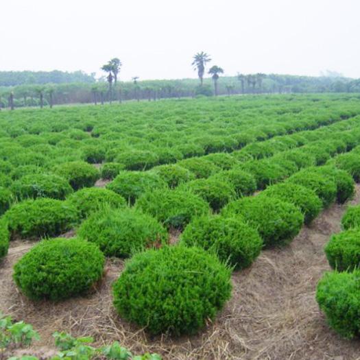 天津小龙柏种植