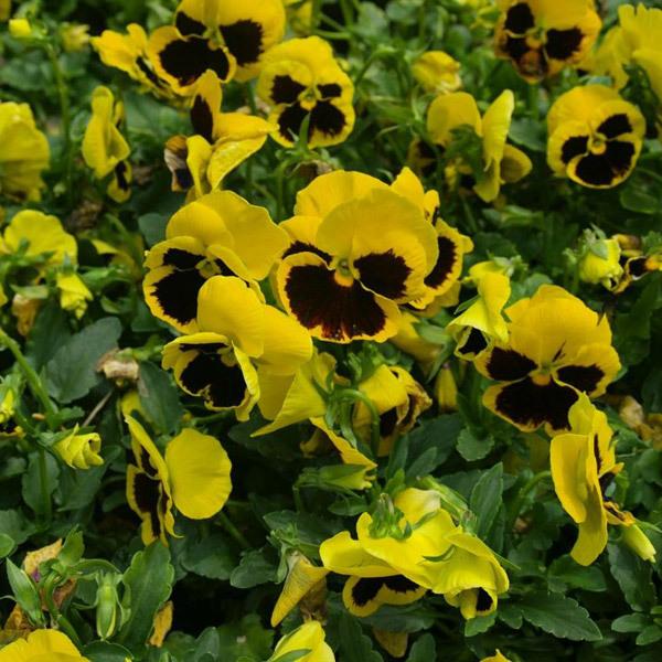 青州市旭景花卉园艺有限公司之三色堇