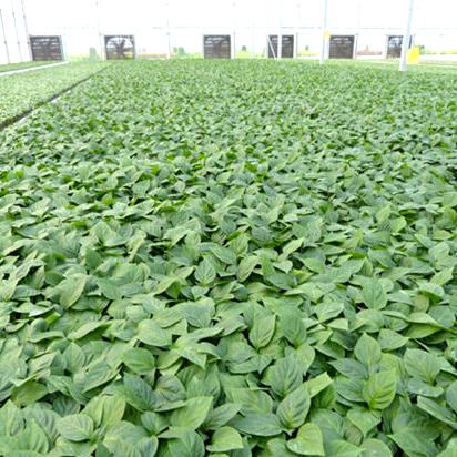 湖北小西红柿苗供应-品种好的种苗出售
