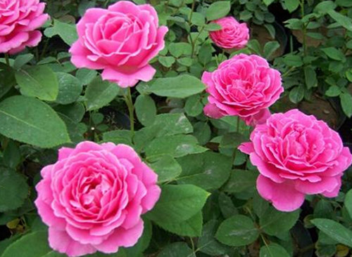 想买销量好的大花月季,就到芳润花卉苗木 ,大花月季基地