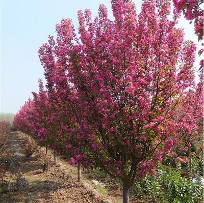西府海棠树基地