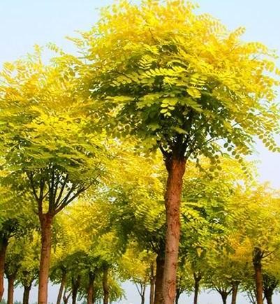 大型黄金槐树