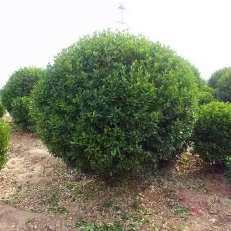 润丰园林出售划算的大叶黄杨球-绿化工程用大叶黄杨球