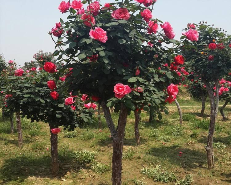 大量供应优惠的树状月季|树状月季基地