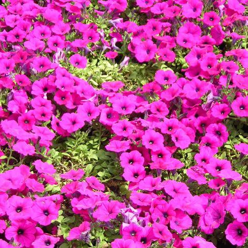 山东宿根花卉杯苗