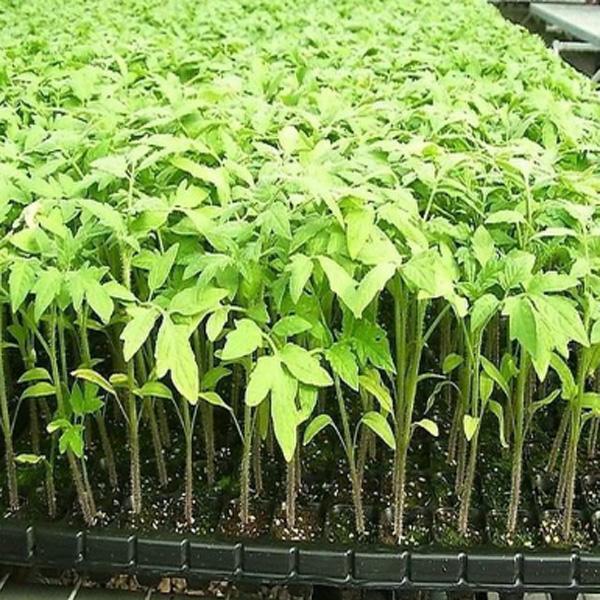 使用育苗基质栽培的注意事项