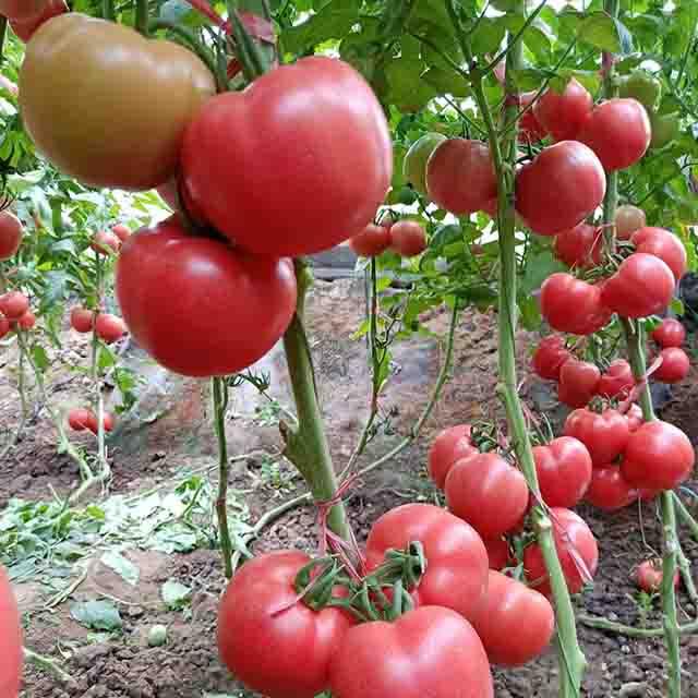 抗死棵番茄种子