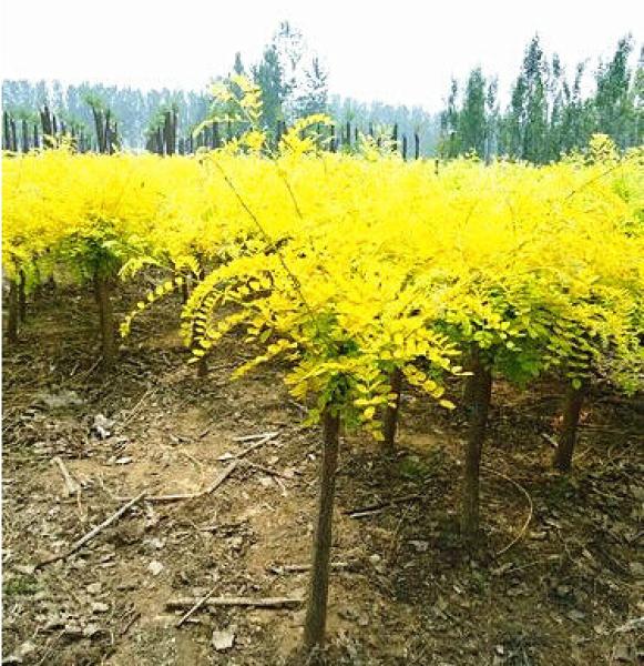 绿化用金叶槐