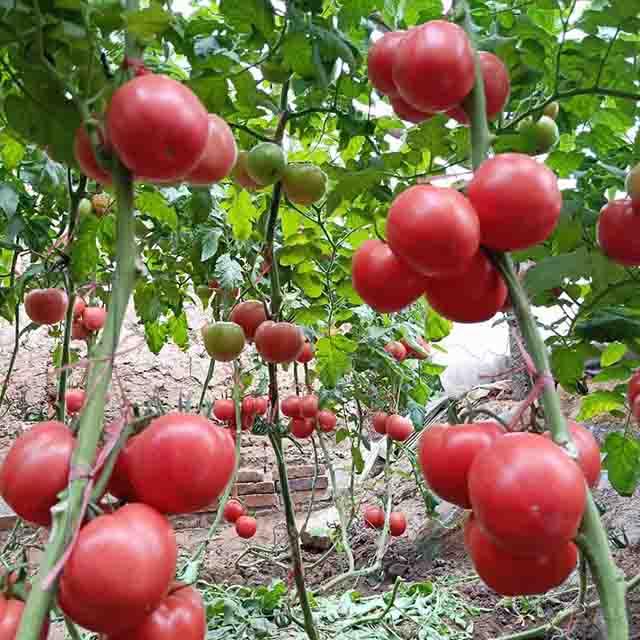 樱桃番茄种子公司:樱桃番茄的种植步骤