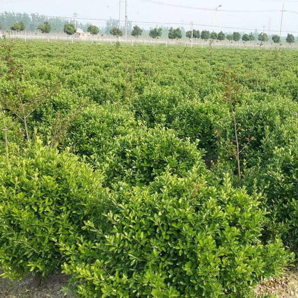 大叶黄杨栽植的深度多少合适?