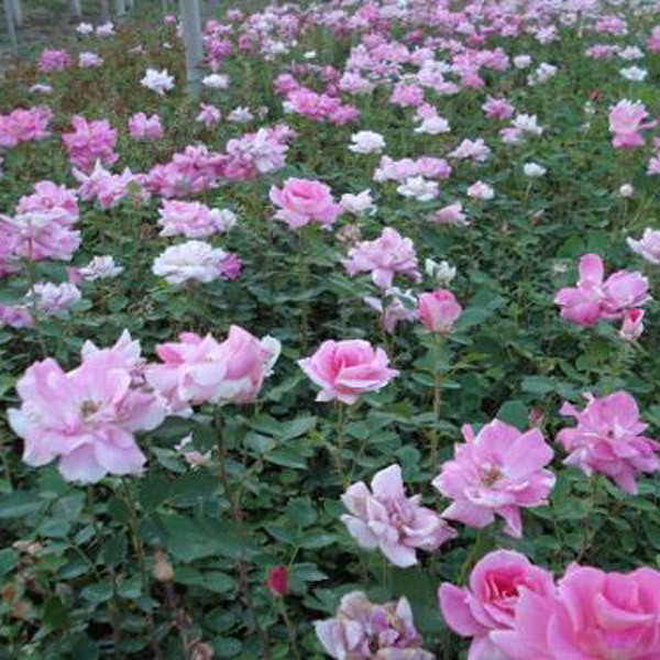 绿化月季出售种植基地:养月季不能忽视的四个问题