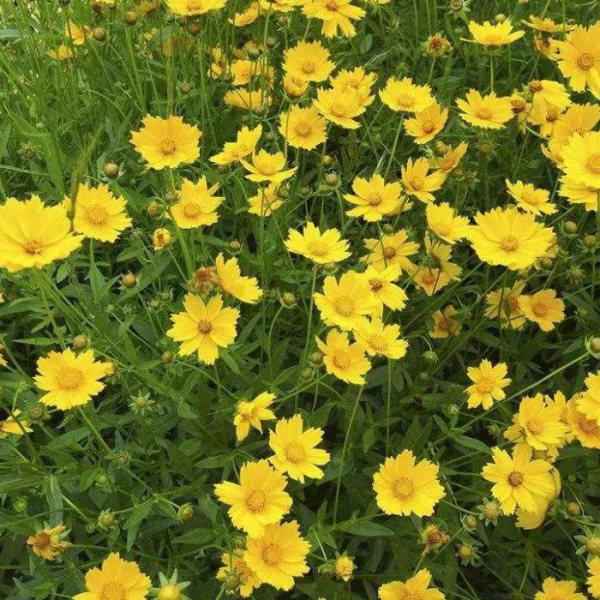 宿根花卉金盏菊种植与养护技巧