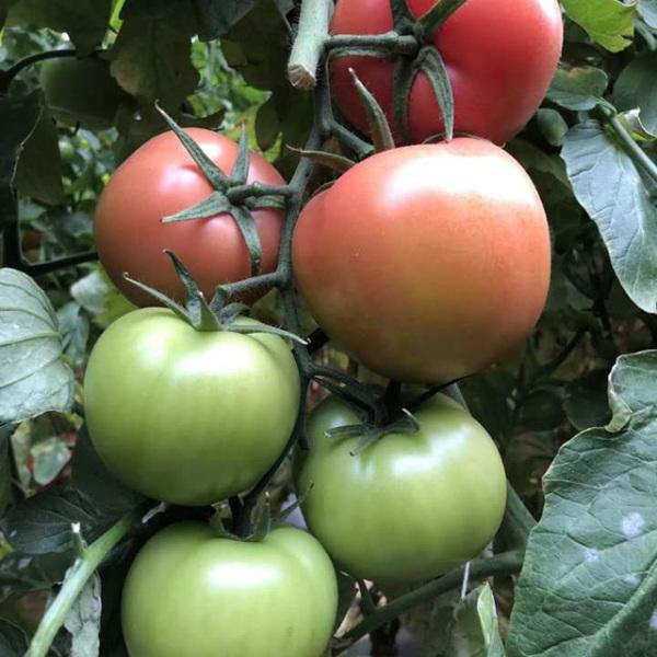 西红柿种植坐不住果咋回事