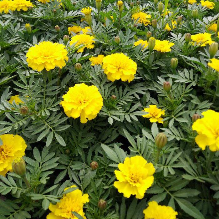 青州时令草花如何处理和品种明细