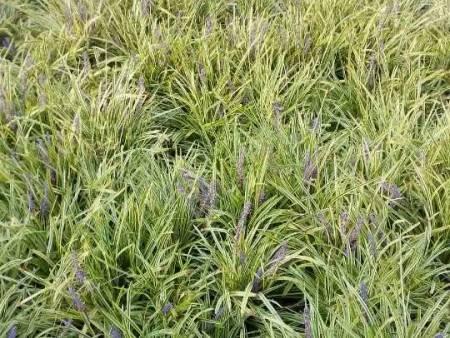 文亮花卉苗木口碑好的金边麦冬供应-河北金边麦冬基地