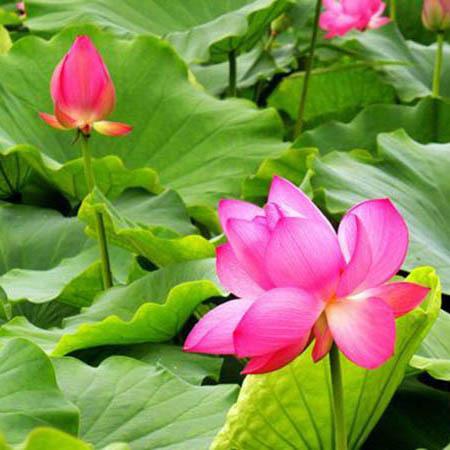 水生花卉杯苗
