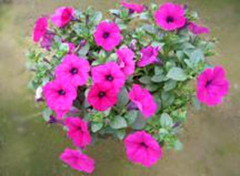 绿化草花出售_好的草花旭景花卉供应