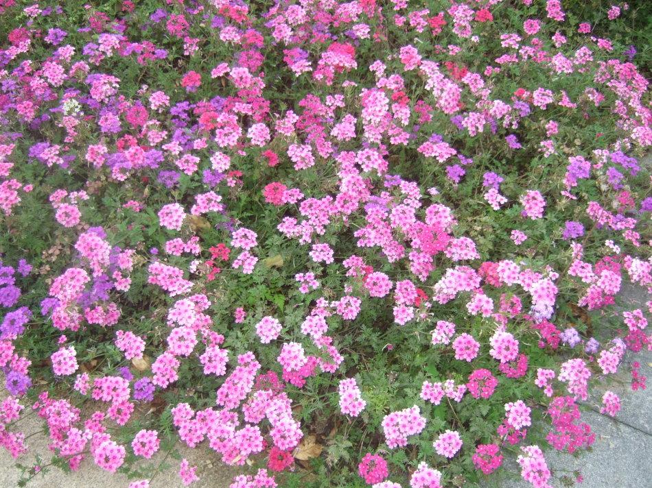 天津美女樱种植