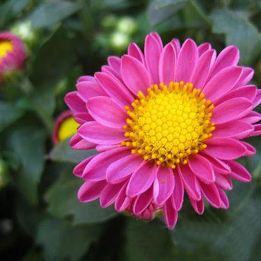 潍坊荷兰菊