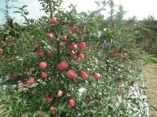 红富士苹果苗苗圃