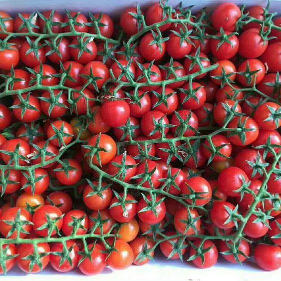 江西粉果西红柿