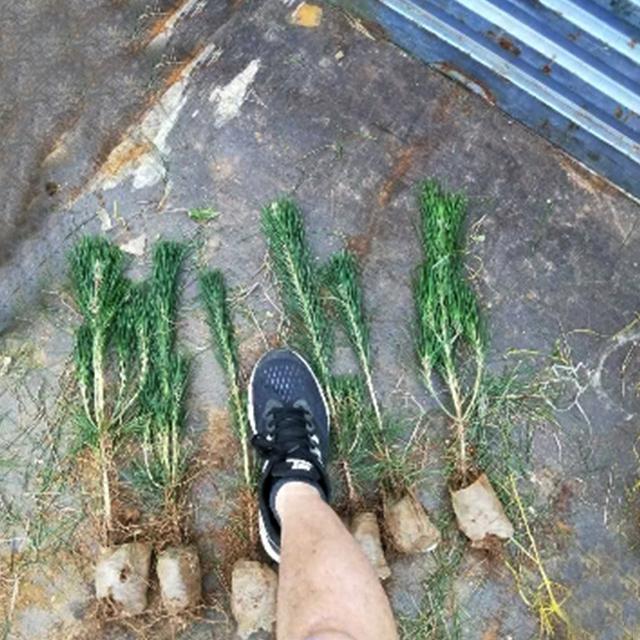 河北黑松树苗批发市场-哪里能买到实惠的山东黑松苗木