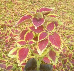 金边彩叶草