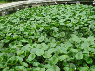 水生植物工程