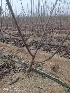 山东大樱桃苗木种植基地