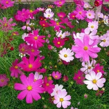 天津国庆菊种植基地