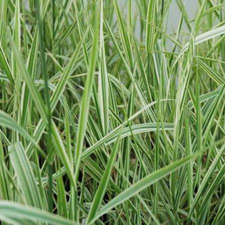 山东观赏草